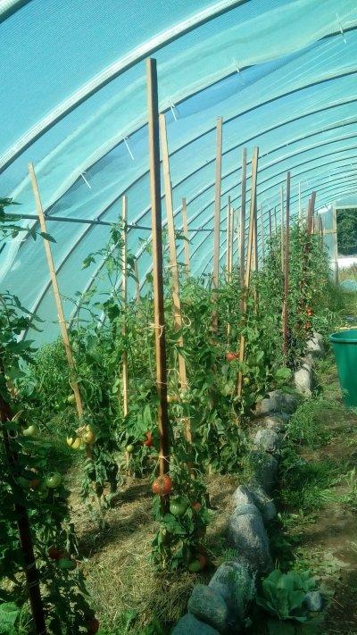 Gewächshaus Tomaten