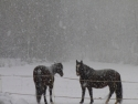zwei_schneepferde