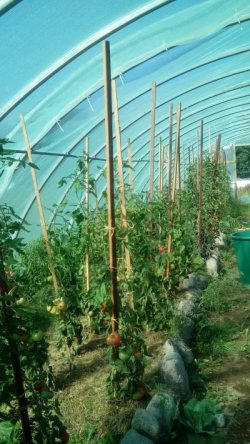 Leckere Tomaten im Gewächshaus